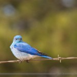 bluebird on barbed wire