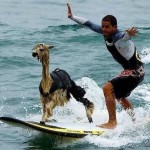 alpaca surfing in Peru