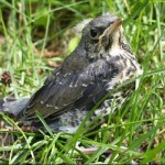 baby-bird-in-grass