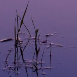reeds in purple water